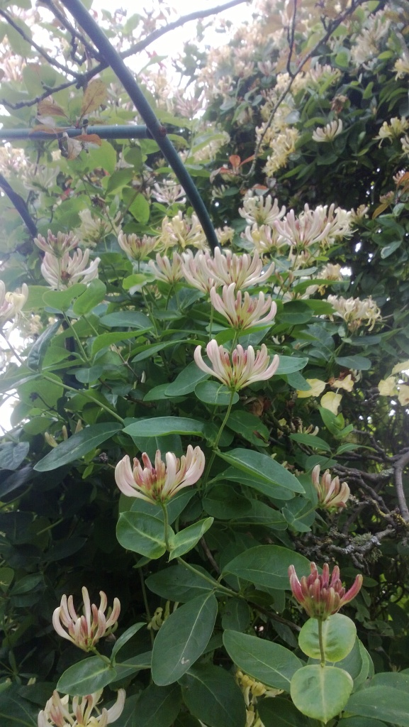 photo of honeysuckle in blook