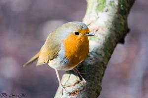photo of robin on a branch