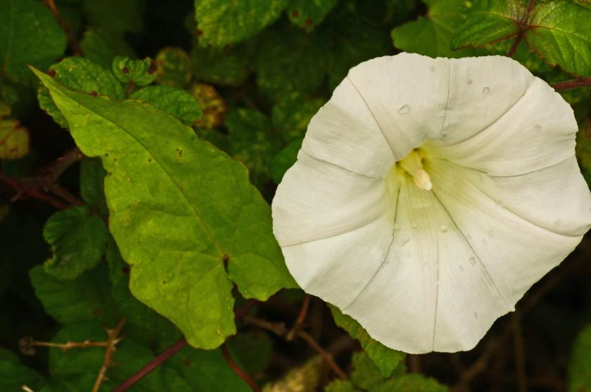 Photo of a single bindweed flower