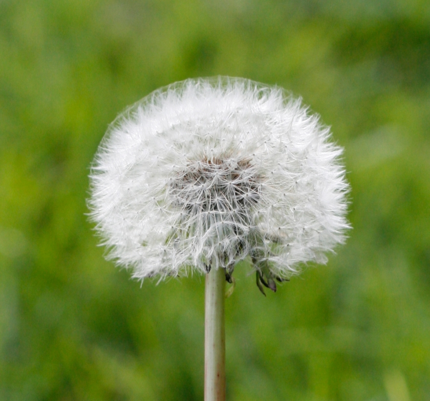 photo of a single dandelion clock