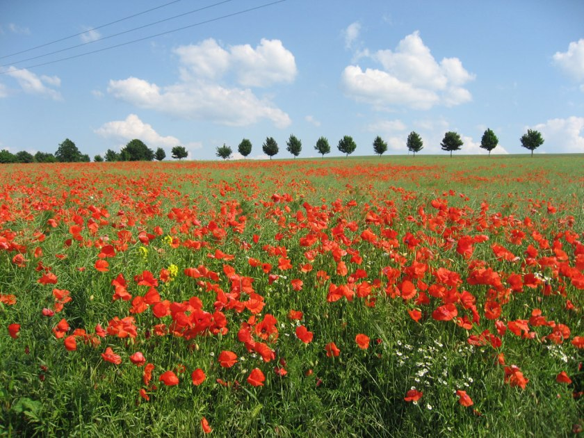 poppy field image in public domain