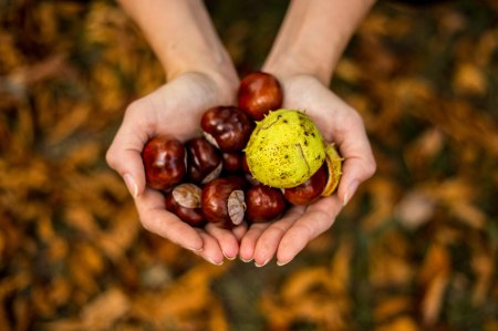 photo of girls hands full of conkers