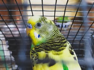Photo of budgie