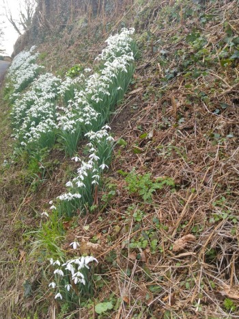 photo of snowdrops on the grass verge beside the road