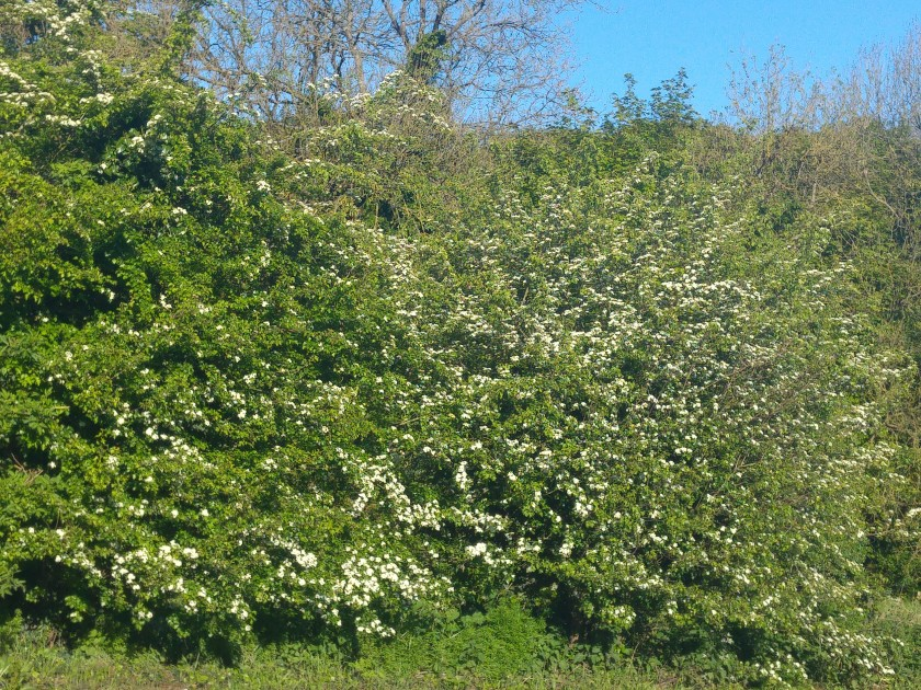 photo of abundant May blossom on hawthorn hedge